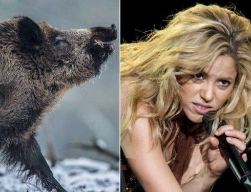 Shakira attaccata dai cinghiali a Barcellona: «Ero con mio figlio, mi hanno portato via la borsa»